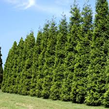 Privacy Trees. Read More. Thuja Green Giant