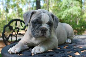 Olde English Bulldogge Puppy Colors Olde South Bulldogges