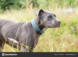 Pitbull dog with blue collar on grass ...