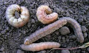 Province Of Manitoba Agriculture Cutworms In Field Crops