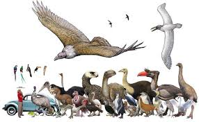 A Size Chart Of The Largest Extinct Bird Species Reddit