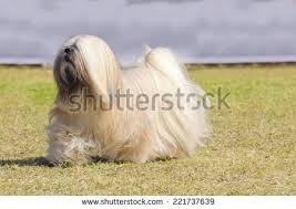 silky dog white. a small young light tan, fawn, beige, gray and white lhasa apso dog silky i