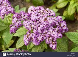 violet flowers of garden heliotrope boraginaceae heliotropium arborescens peru south america