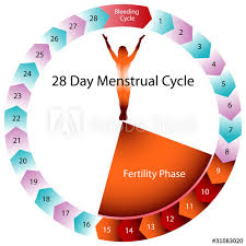 Menstrual Cycle Fertility Chart Buy This Stock Vector And