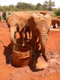 essay on elephants essay of elephant essay on elephant dies ip  photo essay nairobi elephant orphanage where is yvette share this