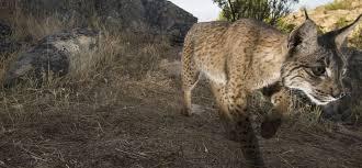 lynx size go wild iberian lynx