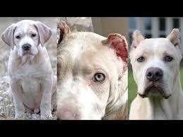 Videos Matching Pitbull Ear Crop Revolvy