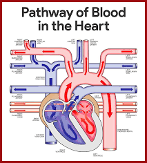 Pathway Of Blood Flow To The Right Kidney Flow Chart Cardiovascular System Anatomy And Physiology Study Guide