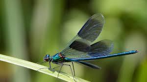 Dragonfly and Damselfly | San Diego Zoo Animals & Plants
