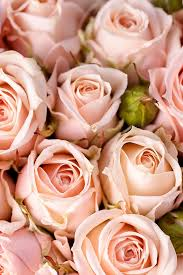a bunch of delicate pink rosebuds for iphone 6 6 5 5s 5c 4 4s 3g