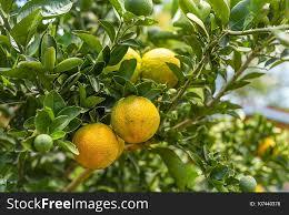 citrus fruit fruit tree bitter