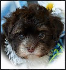 Small Picture Havanese Puppies Puppy for SaleDogs Breeders Breeds Family