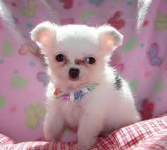 outstanding chihuahua puppies