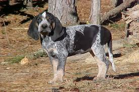 Bluetick Coonhound Size Chart Bluetick Coonhound