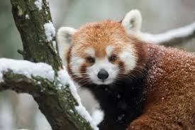 Baby Raccoon Age Chart Facts About Red Pandas Live Science