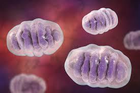 Resultado de imagen de mitocondria