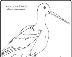 Small Picture American avocet Etsy