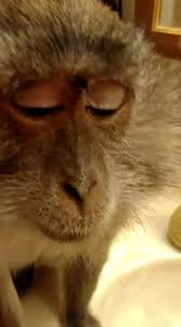 makeup wearing monkey loves being pered