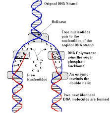 Dna Replication Lm White Biology