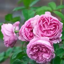 Fragrant Roses Top Most Fragrant Roses Rose Fragrance Medal WinnersFragrant Rose Plants
