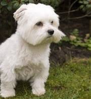 Teacup Maltese Weight Chart Maltese Weight Chart Issues Information