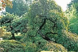 Russian Mulberry  Direct GardeningTeas Weeping Fruiting Mulberry Tree