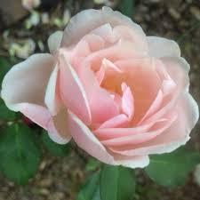 Leila Dudley | Found Roses | Rose Petals Nursery