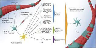 Mesenchymal stem cells: environmentally responsive therapeutics ...