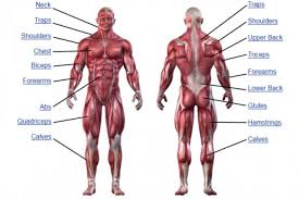 human muscular system  muscular system and search on pinterest