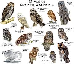 Fine Art Illustration Of Some Of The Species Of Owl Native