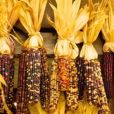 ornamental indian corn garden seeds 50 lb bulk non gmo heirloom