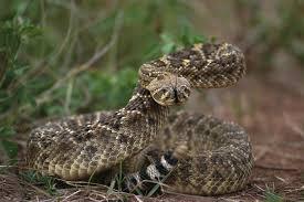 rattlesnake head striking. Brilliant Rattlesnake On Rattlesnake Head Striking T
