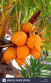 Coconuts In Palm Tree Ripe Yellow Orange Color Fruit Stock Photo Palm Tree Orange Fruit