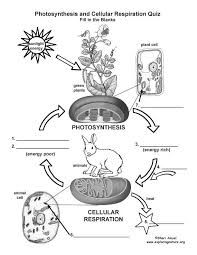 Photosynthesis and Cellular Respiration Worksheet ...