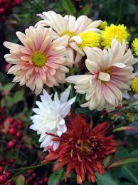 garden mums are hardy autumn bloomers
