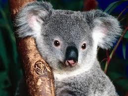koala ¨¨ ^^ := =) Images?q=tbn:ANd9GcTzPPa-9mBsGFjp_8u6fU6mEIIR3jtkBarstOfHQuVhFqw1-lwV