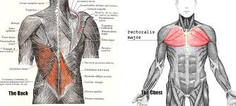 These exit the tailbone, or coccyx. If You Only Train Your Chest Muscle You Ll End Up Looking Worse