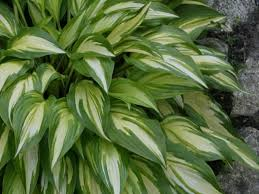 perennials that love shade