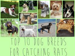 top 10 dog breeds ideal for catching rats