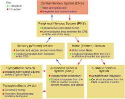 Cns And Pns Chart Nervous System Central System Peripheral System Nerves