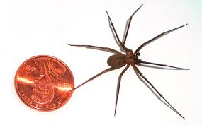10 Most Dangerous Spiders In Australia Rotary Club Of