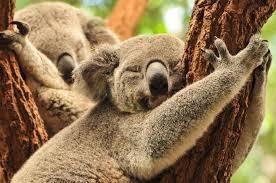 Resultado de imagem para coala adulto