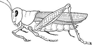 grasshopper_anatomy grasshopper anatomy on crayfish dissection worksheet