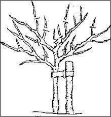 Pruning Fruit Trees TipsPrune Fruit Tree