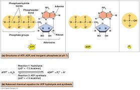 atp adenosine triphosp