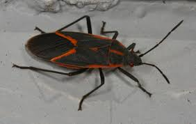 Small Black Flying Bugs In Bedroom A Bounty Of Boxelder Bugs Whats Bugging You