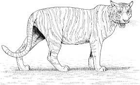 Small Picture Free Printable Tiger Coloring Pages For Kids Coloring Pages Image