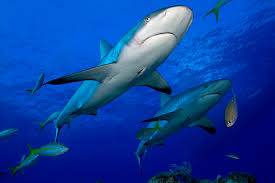 shark com sharks return to their birthplace to give birth sharks sharks return to their birthplace to give birth