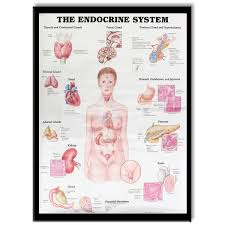 60x80cm The Endocrine System Poster Anatomical Chart Woman Body Educational Medical