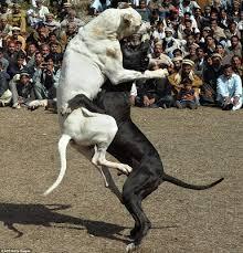 dog fighting essay sample essay on dog fighting blog ultius dog  dog fighting essaydog fight simulator